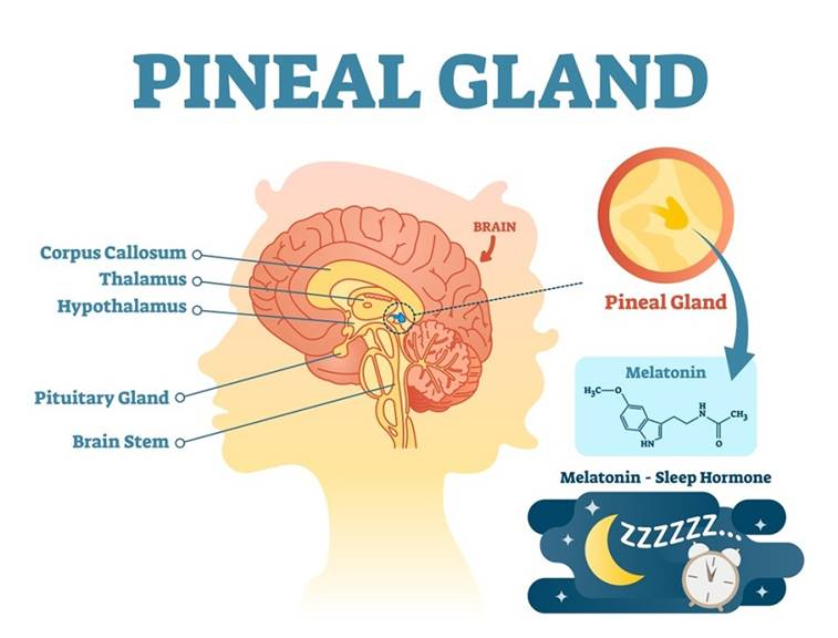 Pineal Gland - Definition, Function and Location | Biology Dictionary